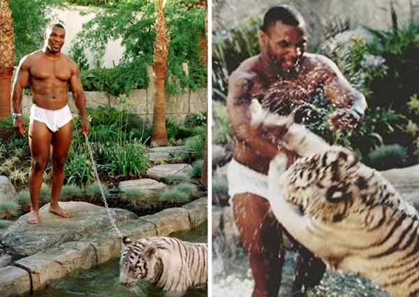 Майк Тайсон со своими бенгальскими тиграми