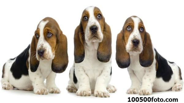 Бассет хаунд Укоризненные печальные глаза и классические висячие уши – такой эту собаку видят люди. Но на самом деле это отличный охотник на лесных зверей типа лисиц, как и все таксы.
