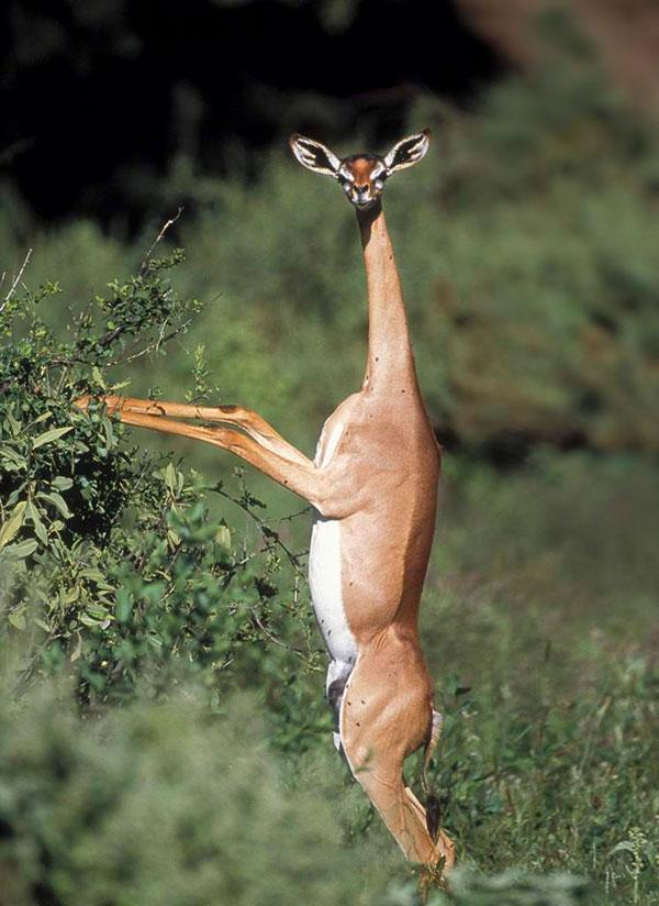 Геренук или жирафовая газель 1