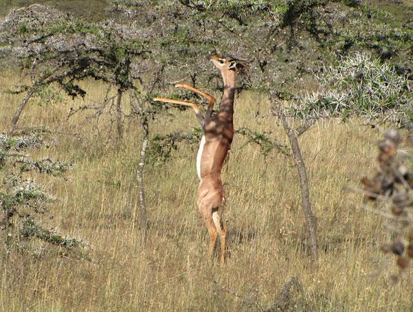 Геренук или жирафовая газель 2