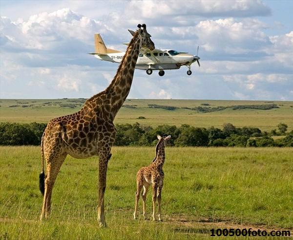 Картинка из жизни жирафов: подарок сыну на день рождения