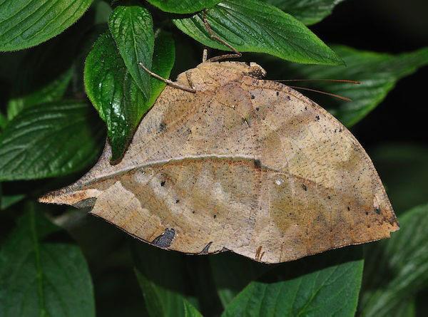 Бабочка «Опавший лист»