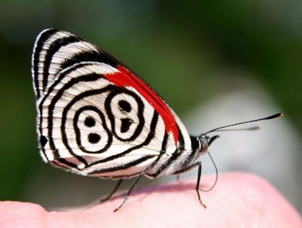 Бабочка «восемьдесят восемь»