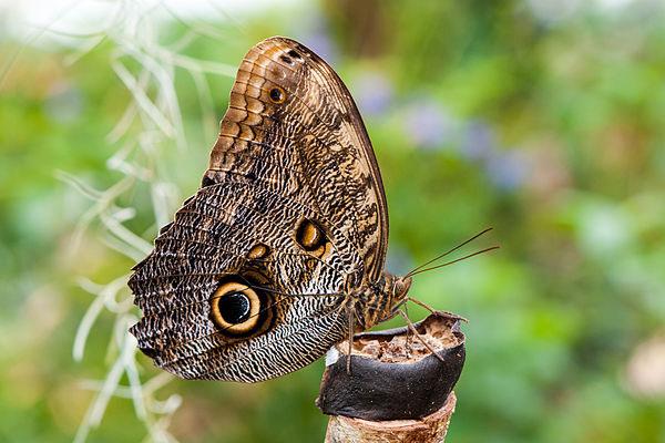 Лесная бабочка «Гигантская сова»