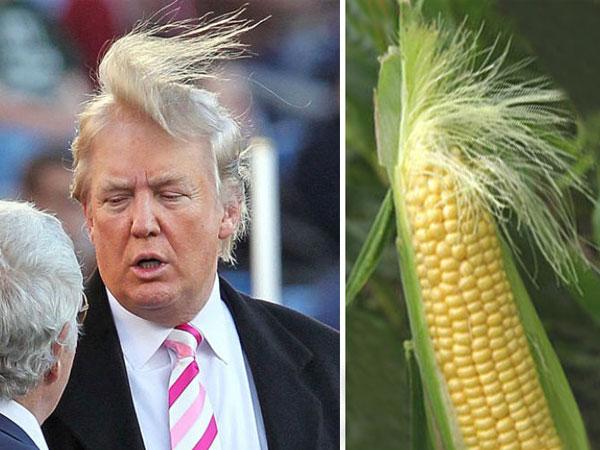 Чья шевелюра лучше: у Дональда Трампа или у этого початка кукурузы?