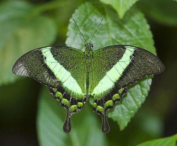 Изумрудная бабочка, имеющая раздвоенный хвост