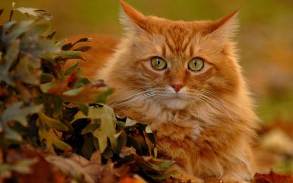 кот цвета осени