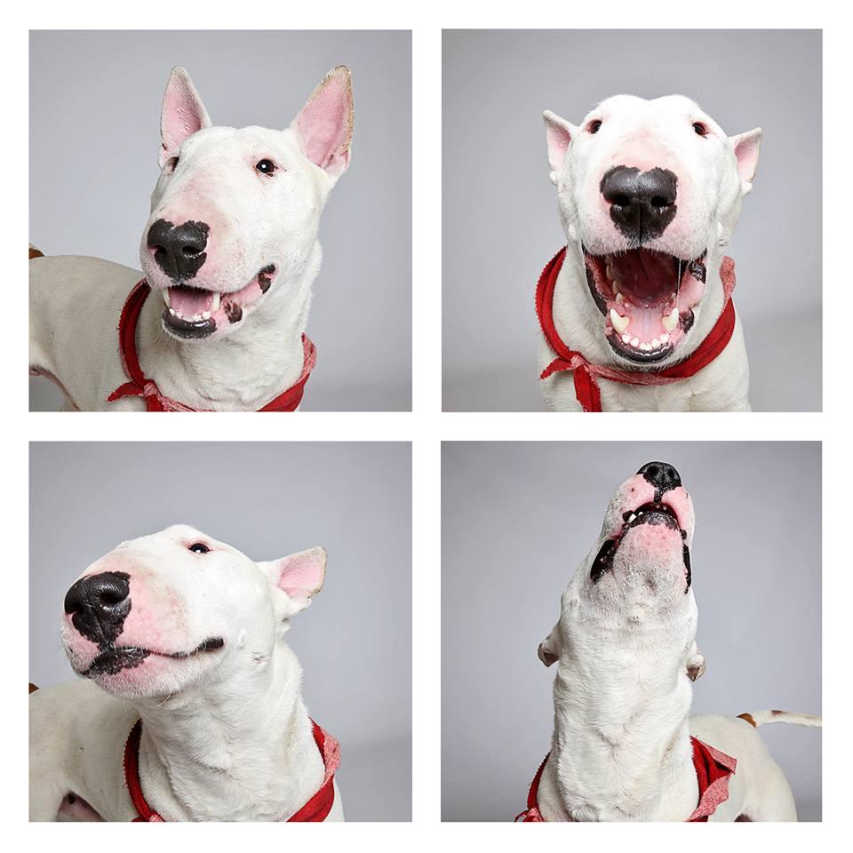 fido-bull-terrier-humane-society-utah