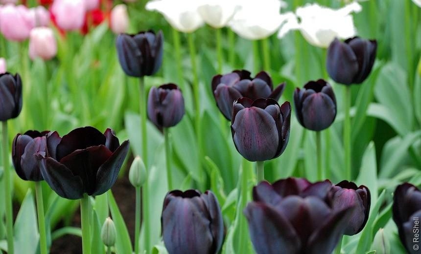 Черный тюльпан 2