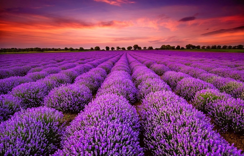 28-Яркие краски лавандового поля в Провансе, Франция