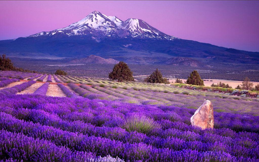 Lavender-fields2