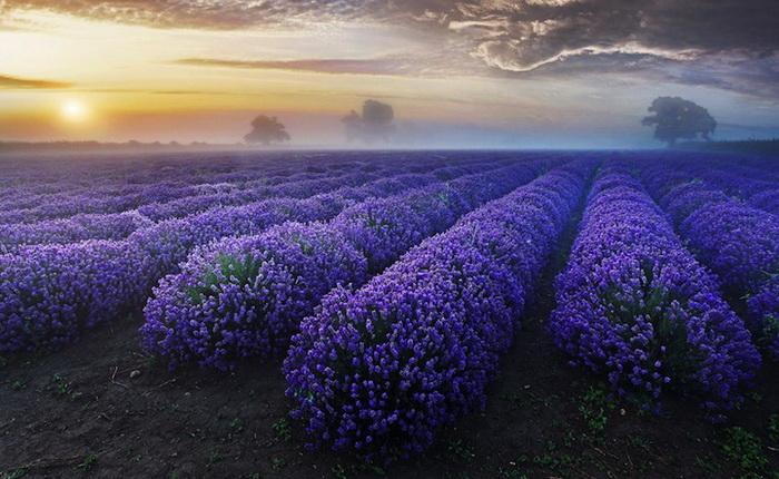 lavender-fields-2