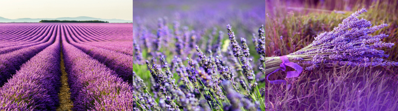 Фотографии лавандовых полей провинции Прованс