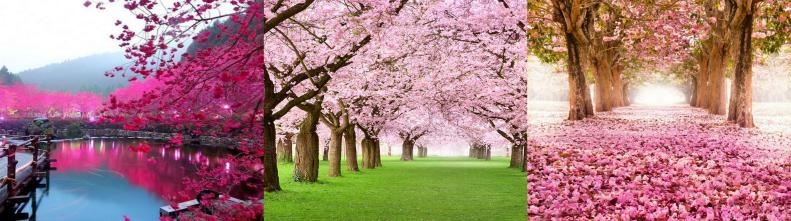 Фотографии цветения сакуры в Японии