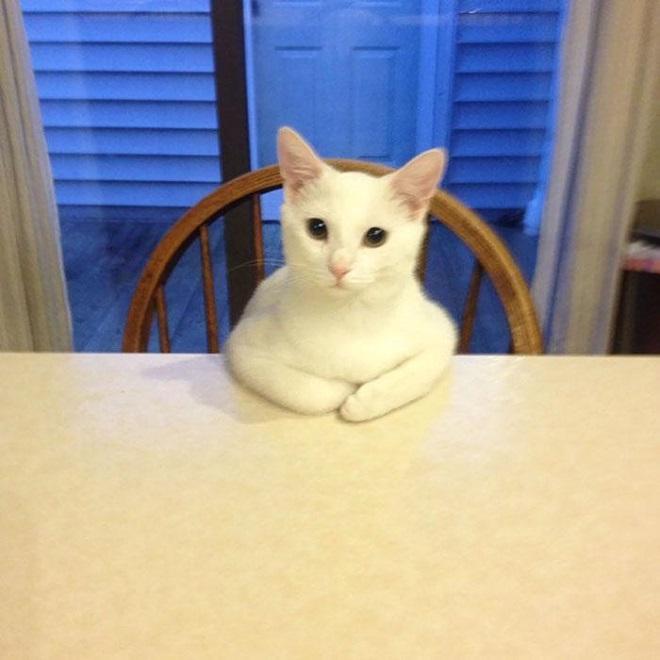 Кот, сидящий за столом именно так