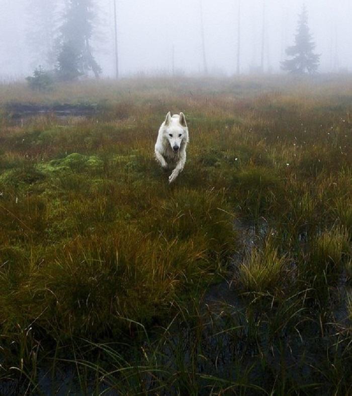 Легенды Британских островов рассказывают о диких псах