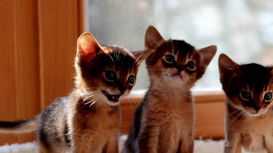 Абиссинская-кошка-фото_04