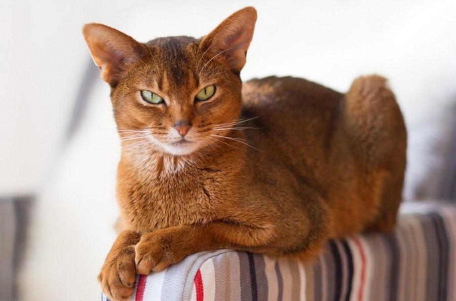 Абиссинская кошка имеет строптивый характер