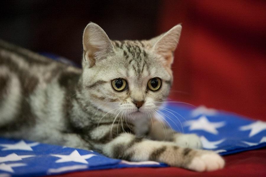 Американская короткошерстная кошка относится к долгожителям