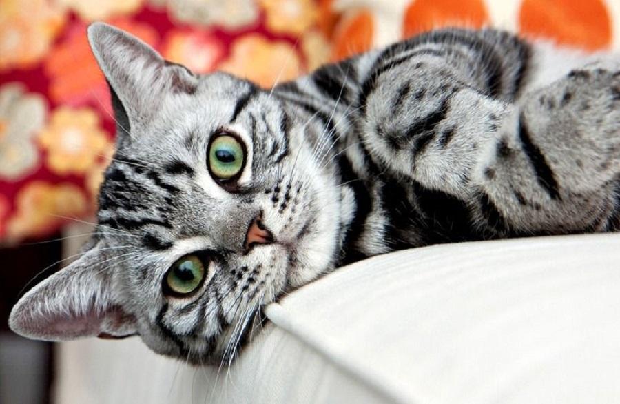 Американская короткошерстная кошка очень дружелюбна