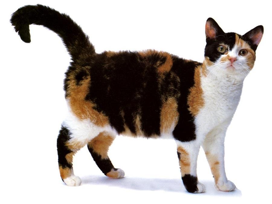 Американская жесткошерстная кошка отличный вариант для семьи с детьми