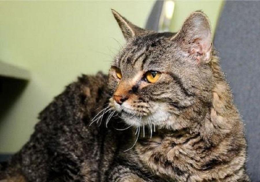 Американская жесткошерстная кошка: фото и описание