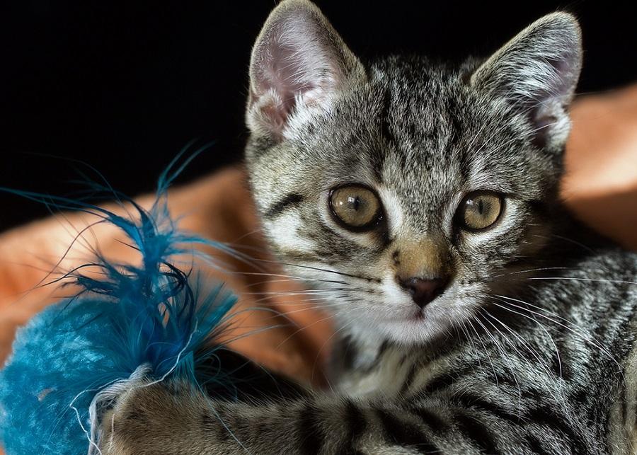 Американская жесткошерстная кошка имеет на вид жесткую шерсть