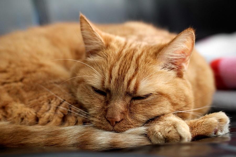 Анатолийская кошка никогда не мяукает