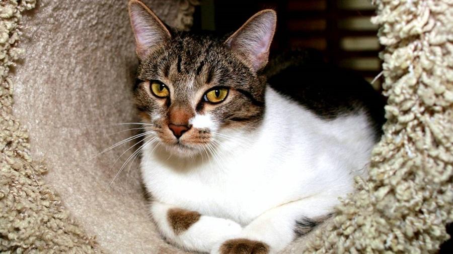 Азиатская табби имеет спокойный кошачий характер