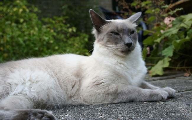 Балинезийская кошка: фото и описание породы