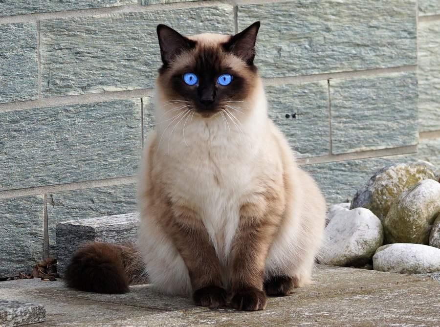 Балинезийская кошка: фото