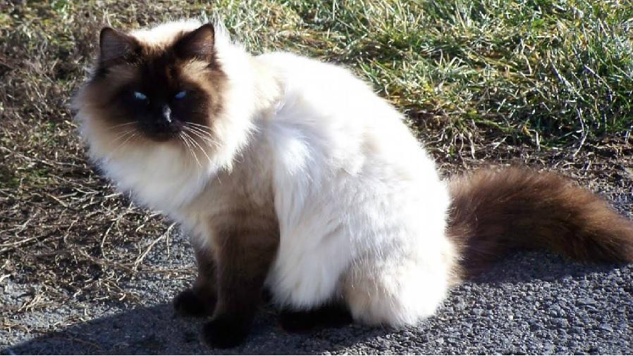 Балинезийская кошка: описание и фото породы
