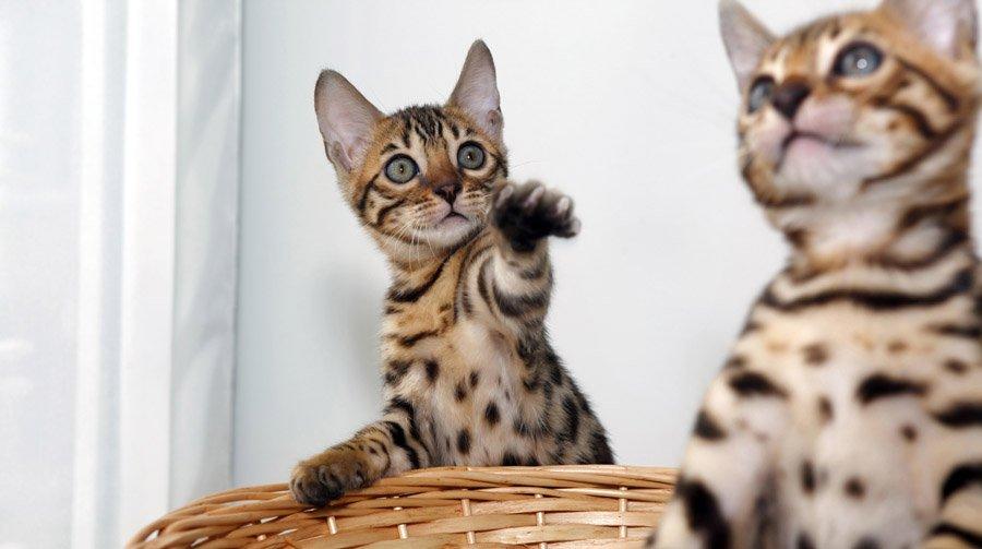 Бенгальская кошка-01