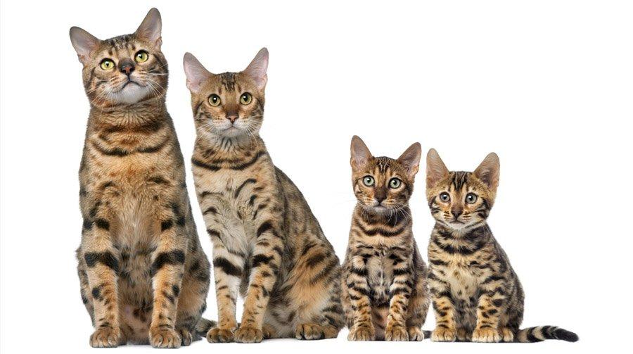 Бенгальская кошка-02