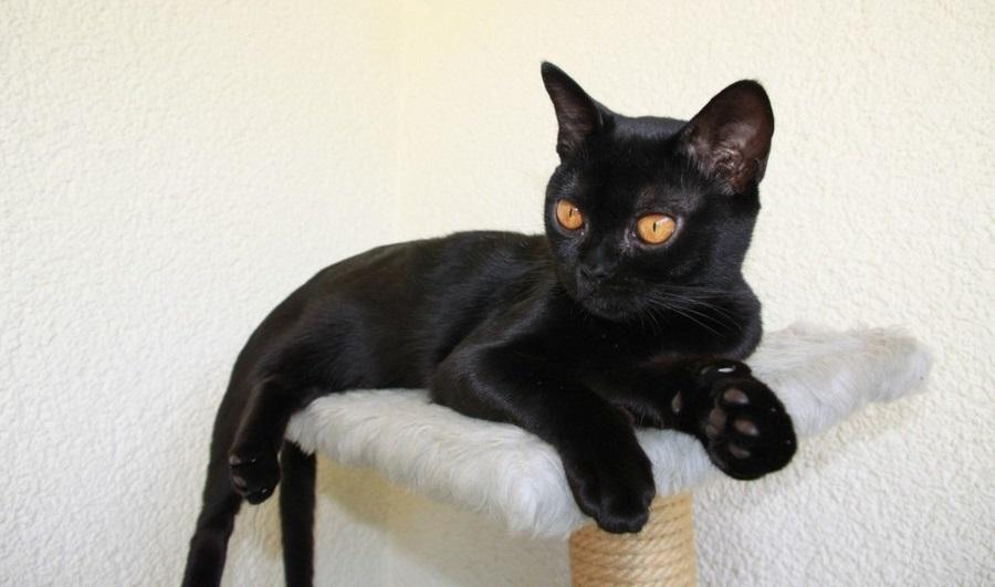 Бомбейская кошка очень дружелюбная и коммуникабельная кошка