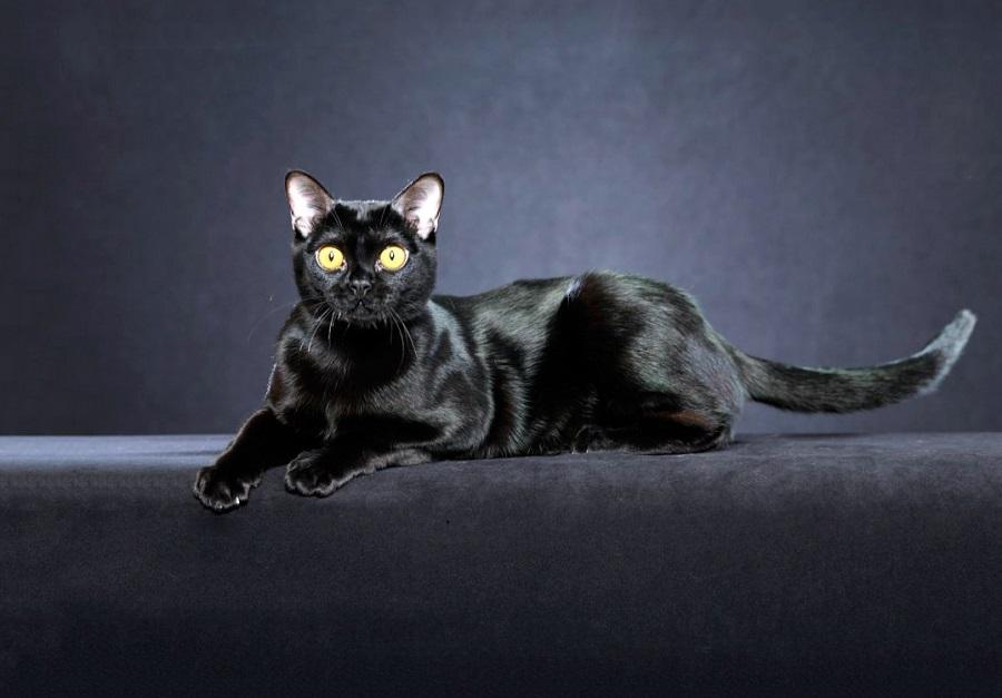 Бомбейская кошка похожа на чёрную пантеру