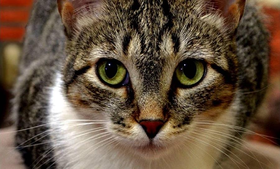 Бразильская короткошерстная кошка любит охотиться