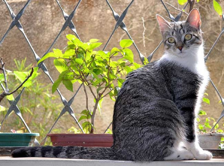 Бразильская короткошерстная кошка произошла естественным путём