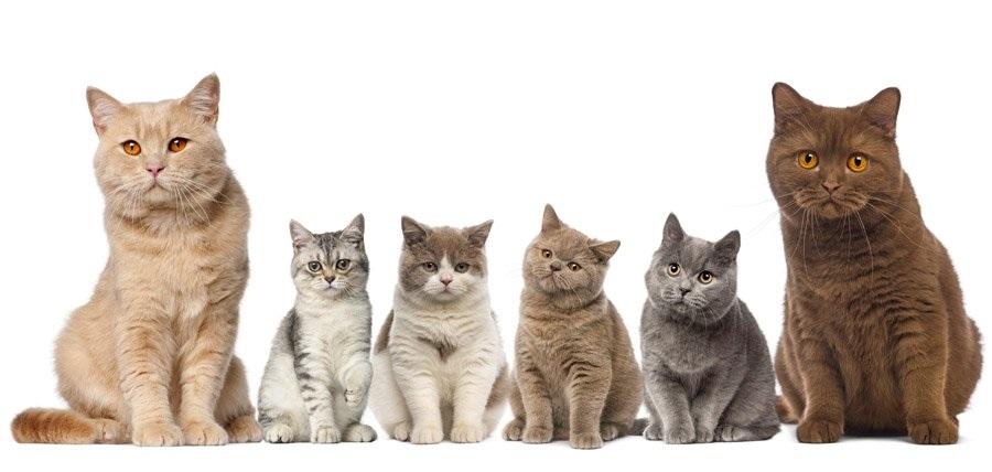 Британская короткошерстная кошка имеет независимый характер