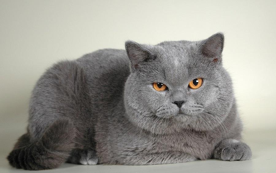 Британская короткошерстная кошка боится сквозняков