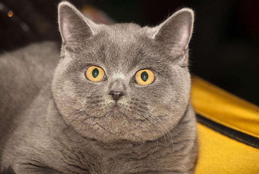 Британская короткошерстная кошка имеет характерную плюшевую шерсть