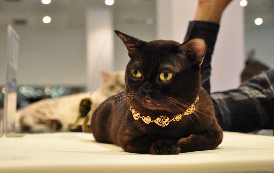Бурма очень красивая кошка с блестящей шерстью