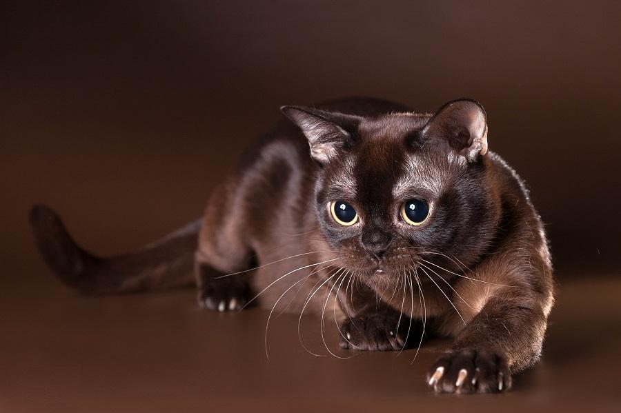 Бурманская кошка имеет своенравный характер