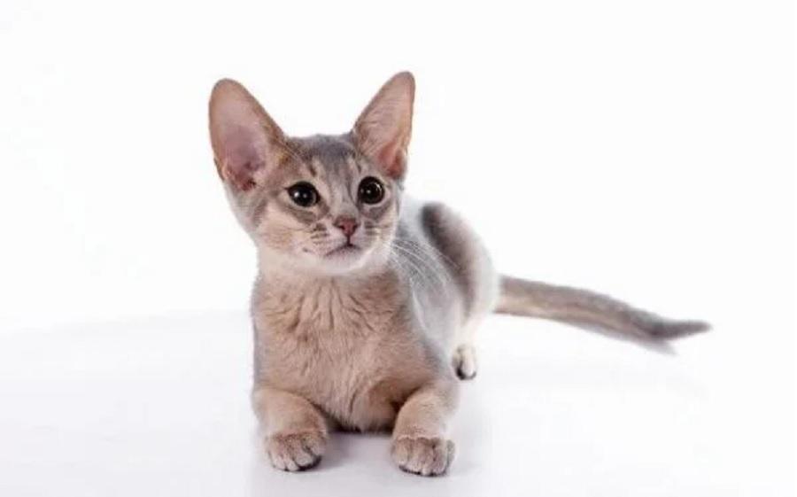 Бурмуар достоточно общительная кошка