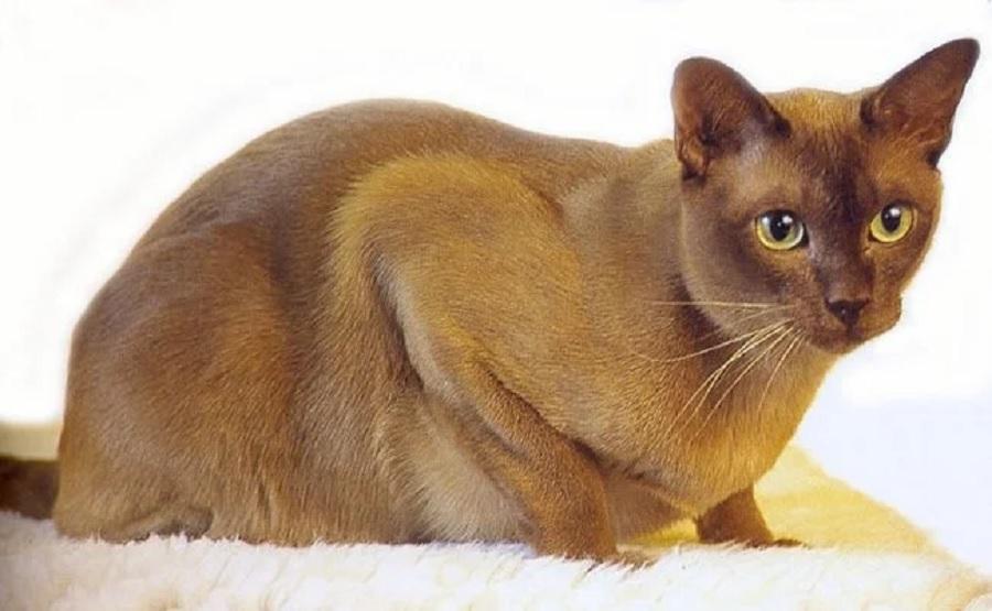 У кошки породы бурмуар дымчатый окрас шерсти