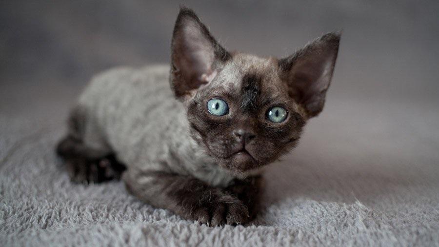 Девон-рекс очень любознательные кошки