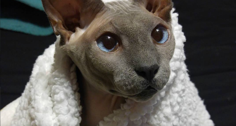 Донской сфинкс: все фото породы