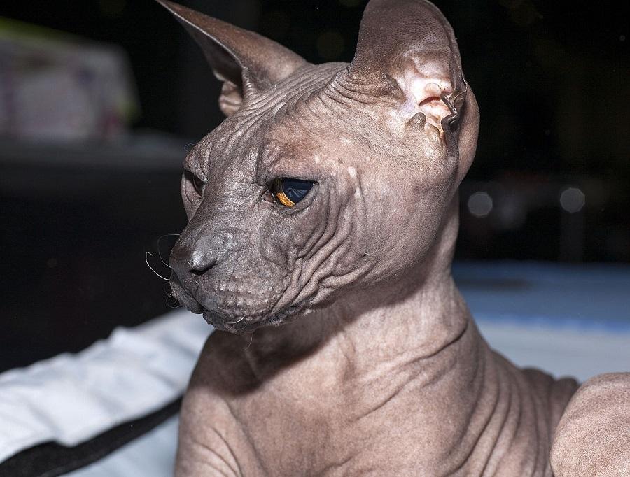 Донской сфинкс: фото, описание породы