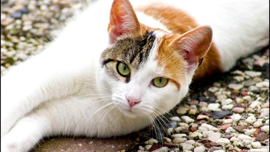 Эгейская кошка: фото, описание, уход, цена