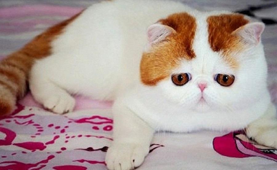 Экзотическая короткошерстная кошка: описание и характеристика породы
